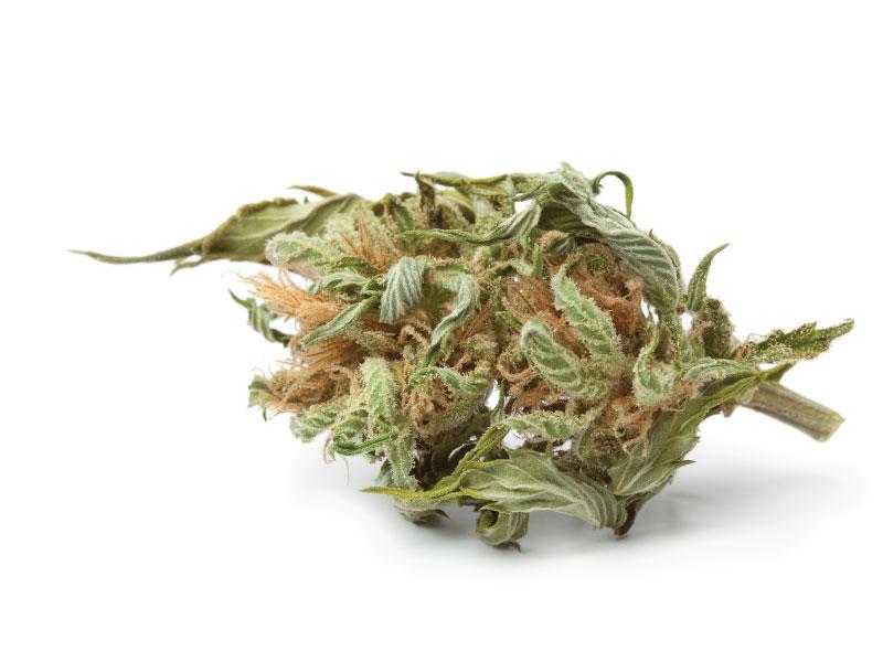 Starting Cannabis